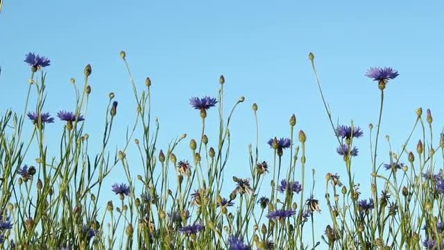 Corn Flowers: Stock Video