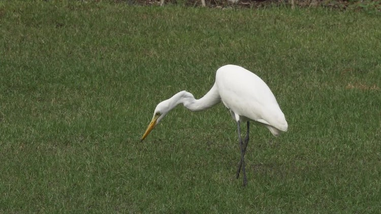 Eastern Great Egret Hunting: Stock Video