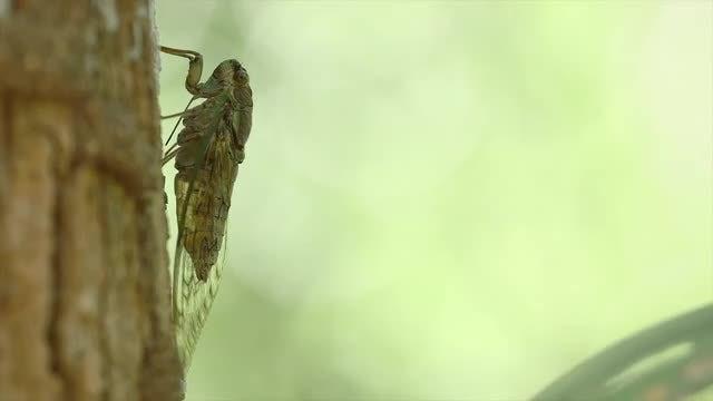 Cicada: Stock Video
