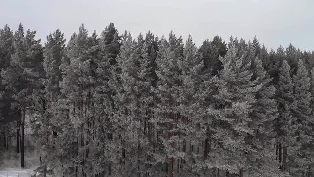 Conifers: Stock Video
