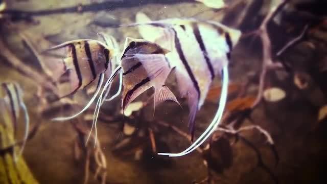 Tropical Fish In Aquarium: Stock Video