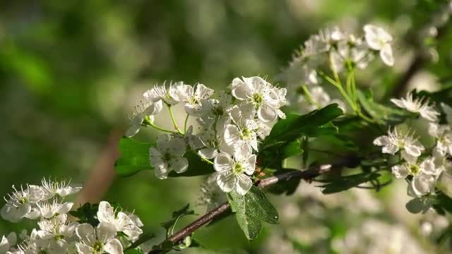 Hawthorn In Bloom: Stock Video