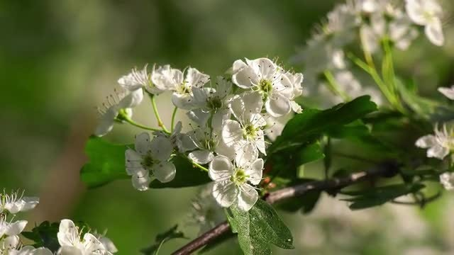 Hawthorn In Spring: Stock Video