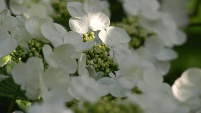 Blooming Viburnum: Stock Video