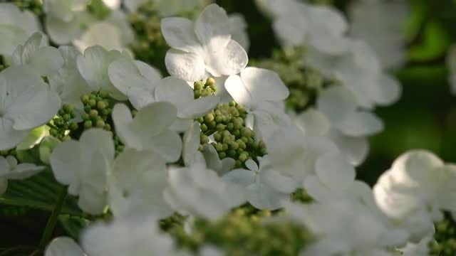 Viburnum In Bloom: Stock Video