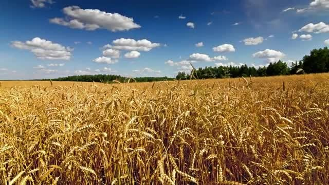 Time Lapse Of Wheat Field: Stock Video
