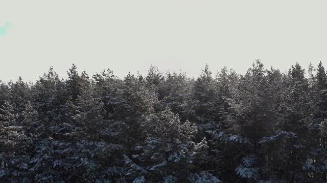 Coniferous Snowy Forest: Stock Video