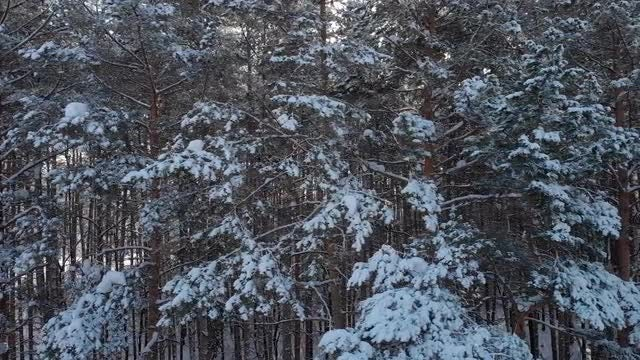Snowy Coniferous Forest: Stock Video