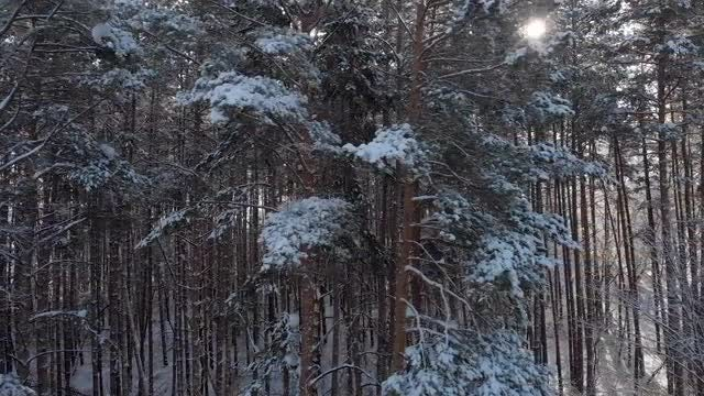 Snow-covered Conifer Trees: Stock Video