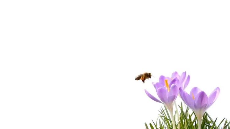 Bee On Crocus: Stock Video