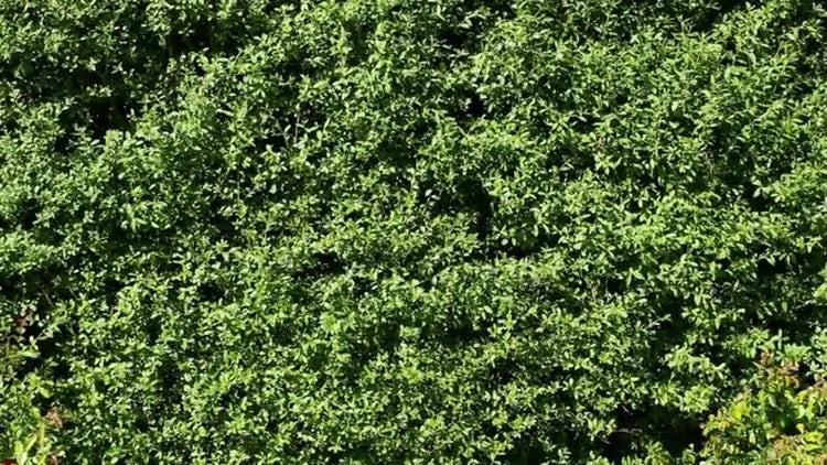 Hedge: Stock Video