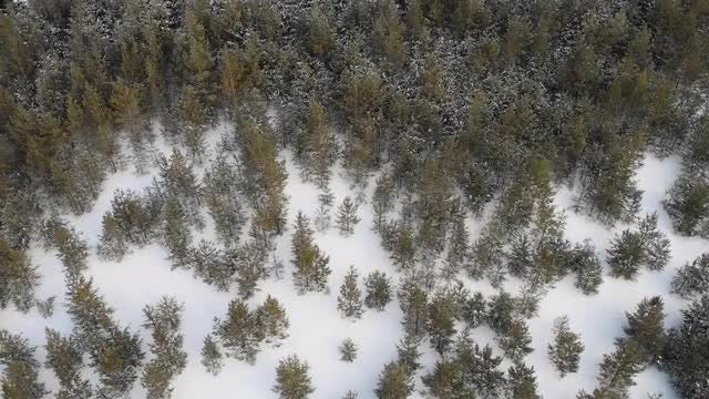 Spruce Trees: Stock Video