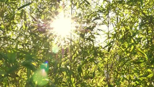 Bamboo Stalks: Stock Video
