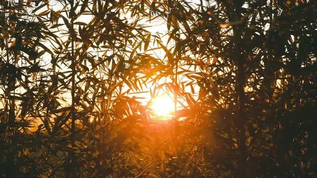 Sunset Through Bamboo: Stock Video