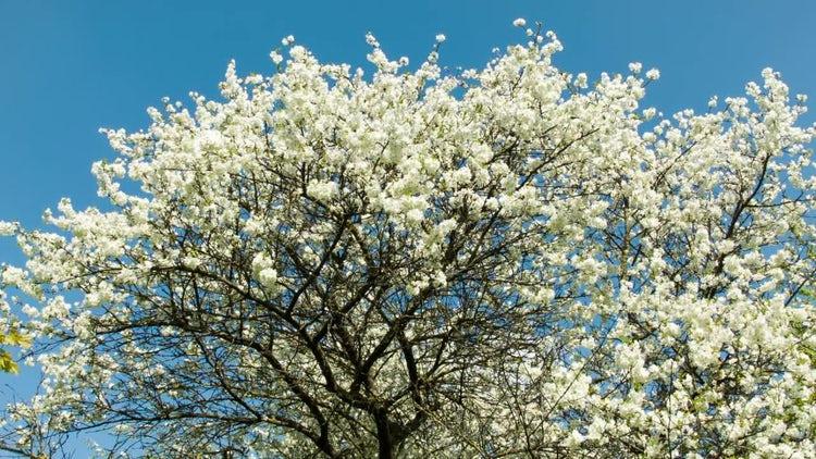 Cherry Blossom Tree: Stock Video