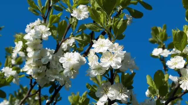 Close-Up Of Cherry Blossoms: Stock Video