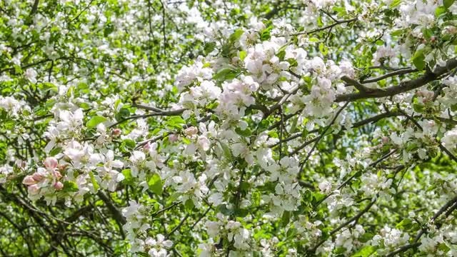 Apple Tree Flowers: Stock Video