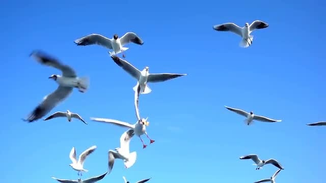 Flying Seagulls: Stock Video