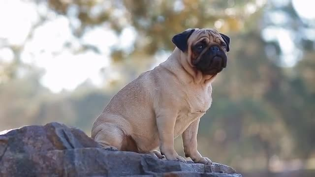 A Pug In Nature - Stock Video | Motion
