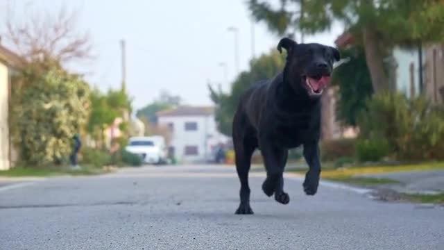 Black Labrador: Stock Video