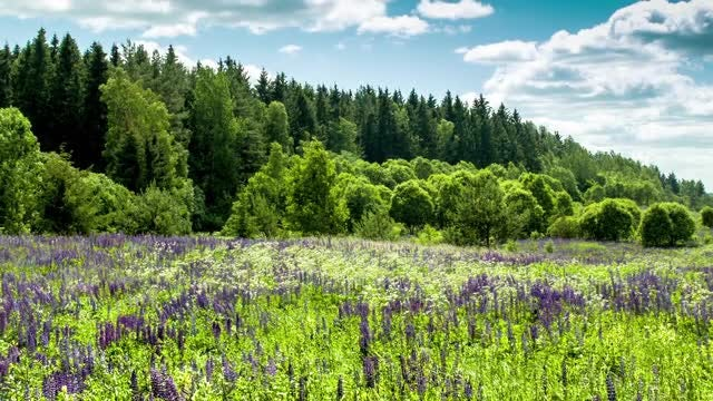 A Lupine Field: Stock Video