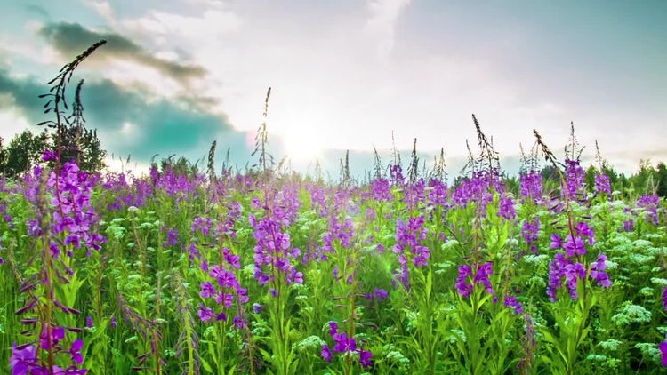 Fireweed: Stock Video