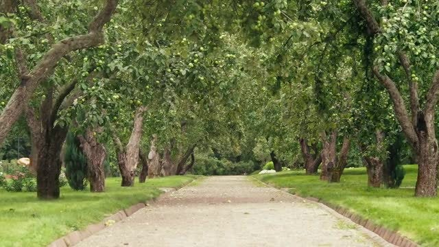 Apple Tree Path: Stock Video