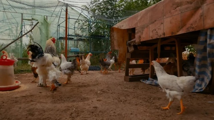 Sustainable Poultry Farm: Stock Video