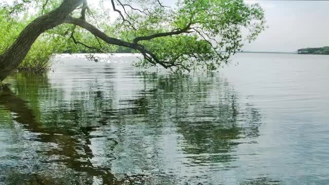 Tree Hanging Over Lake: Stock Video
