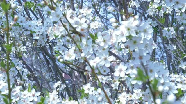 Cherry Flowers: Stock Video