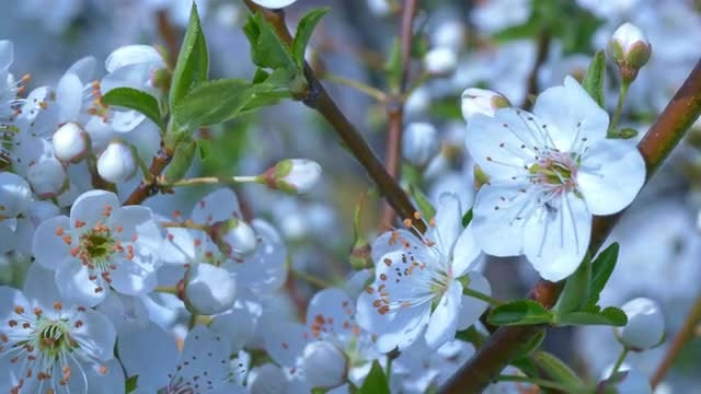 White Cherry Flowers: Stock Video