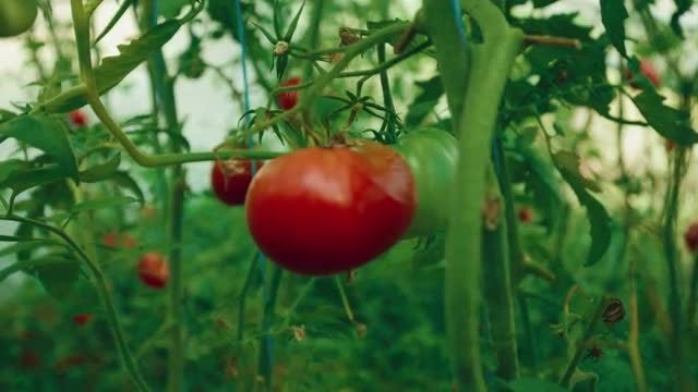 A Large Tomato: Stock Video