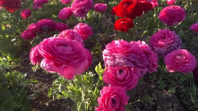 Red Pink Flowers: Stock Video