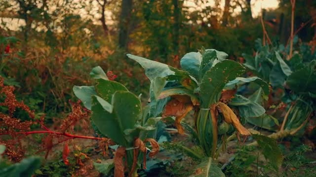 Cabbage Patch: Stock Video