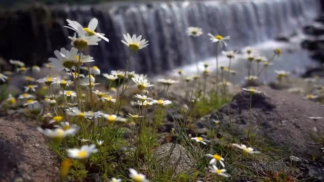 Daisy Flowers And A Waterfall: Stock Video