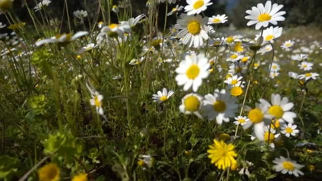 Wild Daisy Flowers: Stock Video