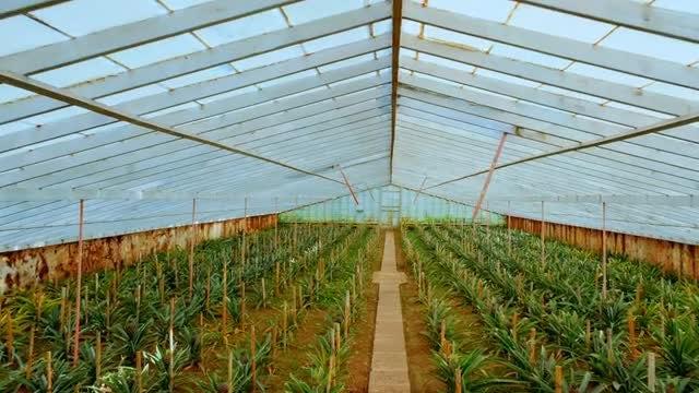 Pineapple Plantation: Stock Video