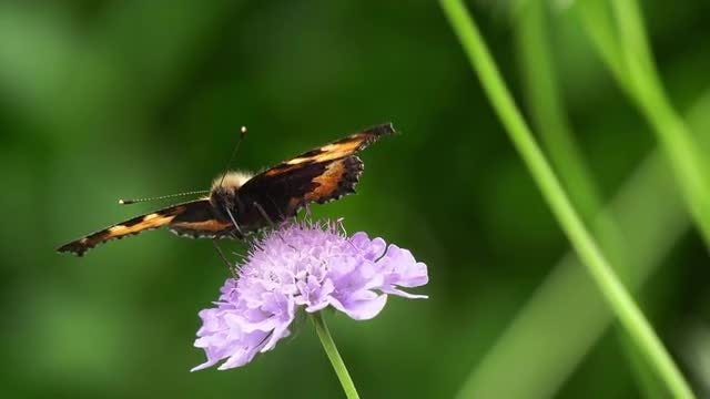 Butterfly Feeding On Nectar: Stock Video
