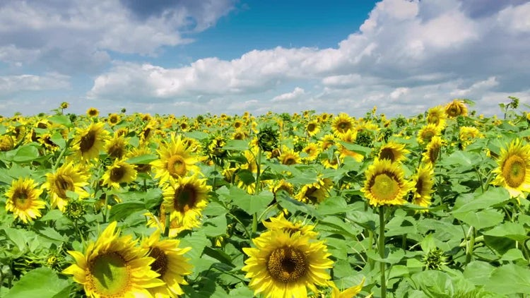 Sunflowers Field: Stock Video
