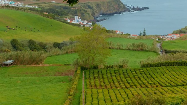 Lush Tea Plantation: Stock Video