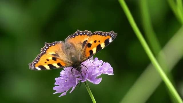 Butterfly Nectar Feeding: Stock Video