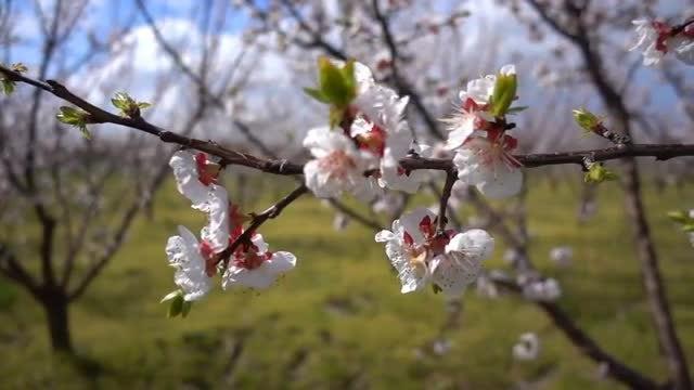 Plum Blossom: Stock Video