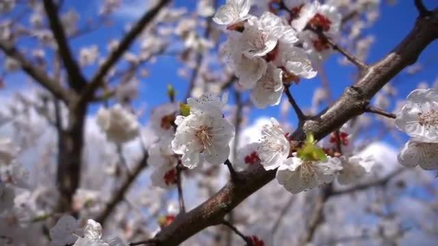 Apricot Flower Tree: Stock Video