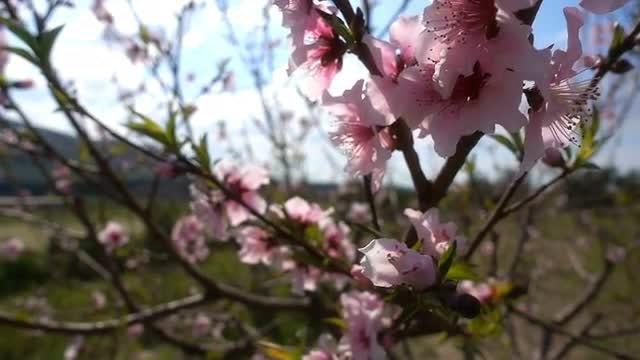 Pink Blossoms: Stock Video