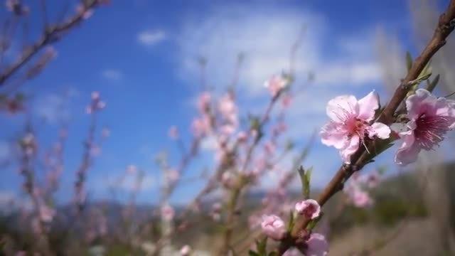 Peach Flowers: Stock Video