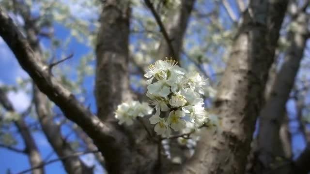 Close-Up Of A Plum Flower: Stock Video