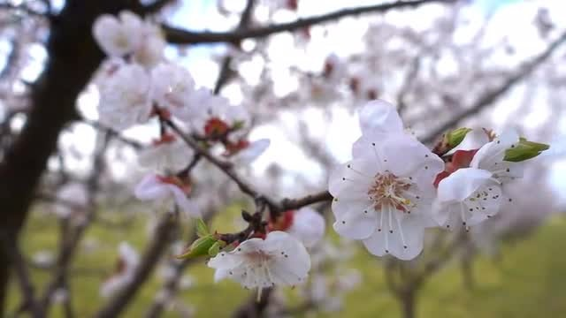 Apricot Flowers In Spring: Stock Video
