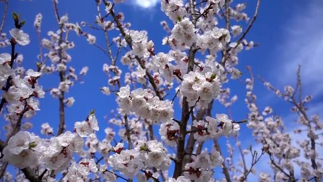 Apricot Flowers: Stock Video