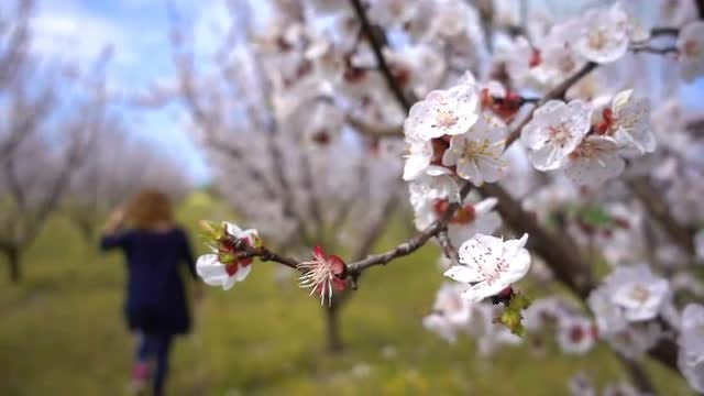 Apricot Tree In Spring: Stock Video