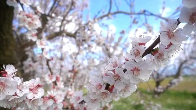 Blossoming Apricot Tree: Stock Video